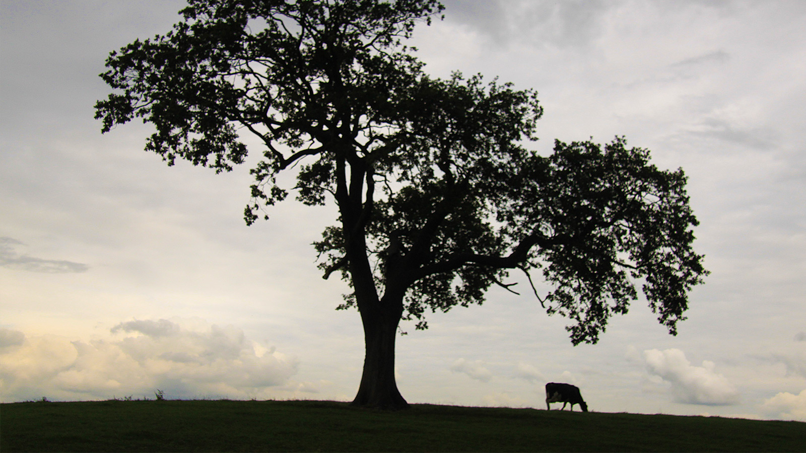 Photo of a silhouetted tree and solitary cow